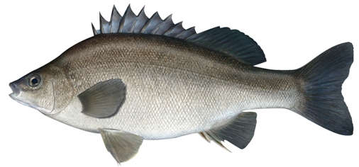 Silver Perch Australia - Fish for Aquaponics