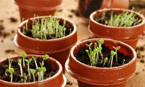 Grow Organic Herbs from Seeds