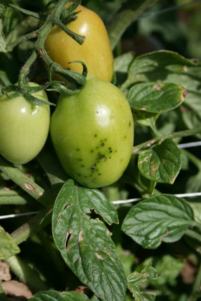 P. syringae on Tomatoes