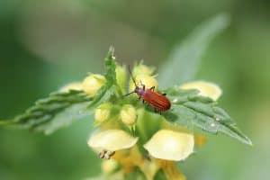 Ground Beetle on Flower