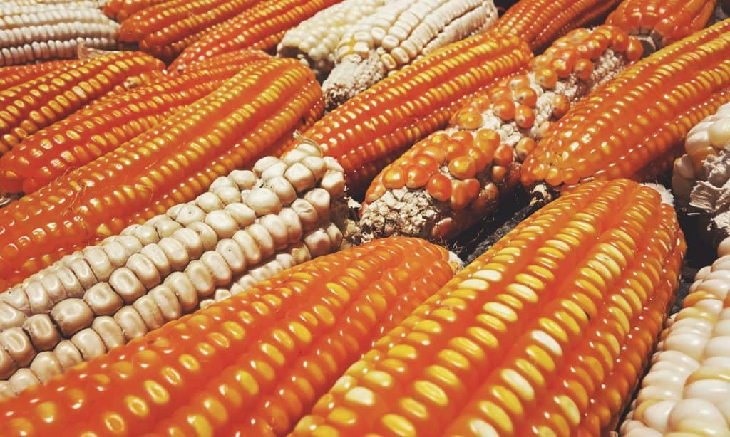 Soon To Be Available Gmo Phobic Corn Might Save The Day For Organic Growers Gardening Secrets