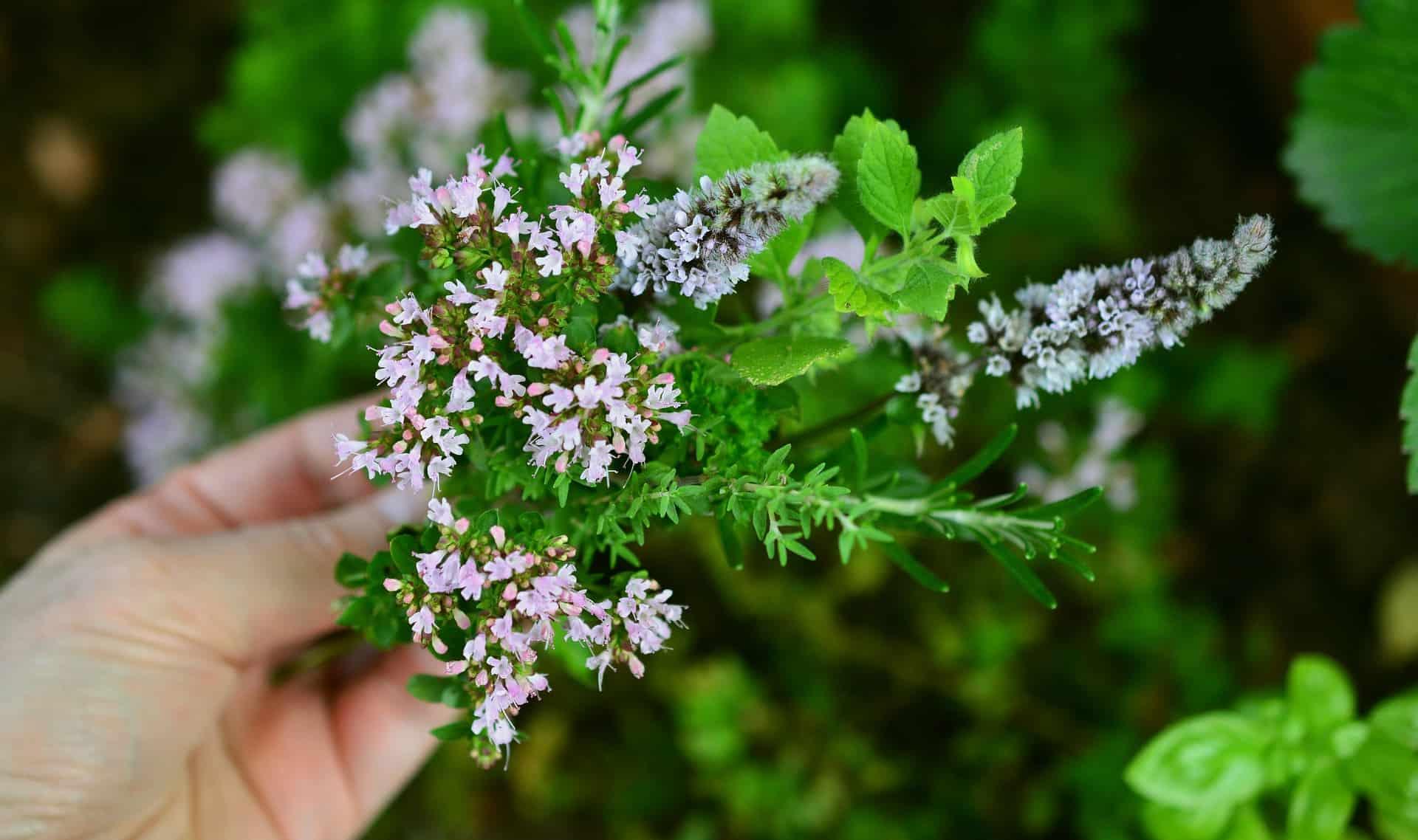 Culinery Herbs